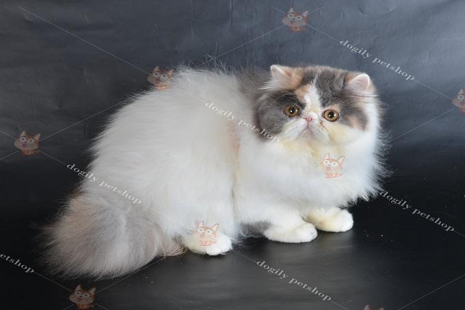 Một bé Classic Persian Cat truyền thống.