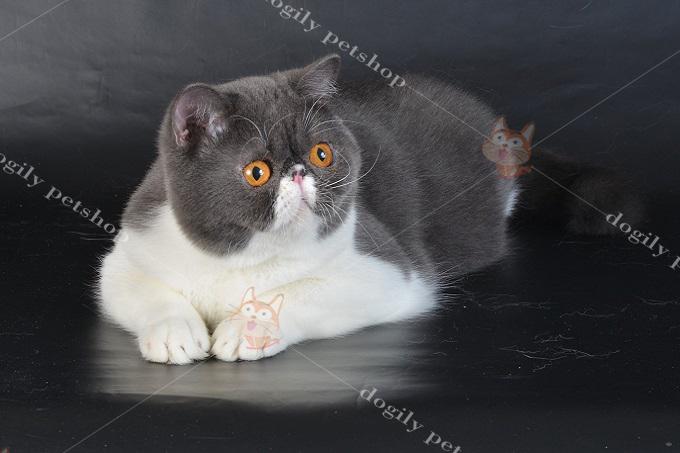 Mèo Exotic màu bicolor mắt vàng đồng rất được ưa chuộng tại Việt Nam.