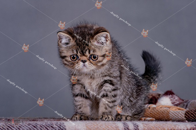 Bán mèo Ba tư lông ngắn (mèo Exotic) màu tabby vằn mướp.