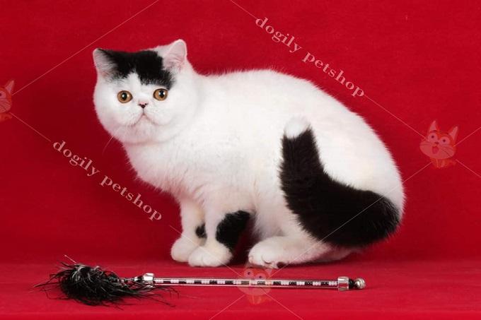 Mèo Exotic Shorthair là phiên bản lông ngắn của mèo 34 truyền thống.