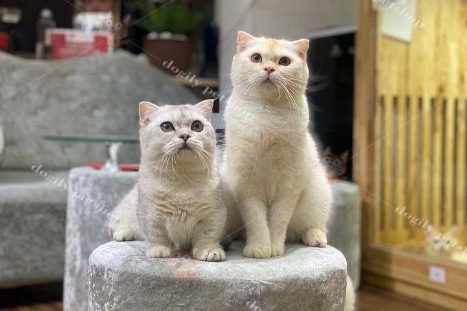 Vì vậy, đàn mèo con có thể ra mèo chân ngắn hoặc không.