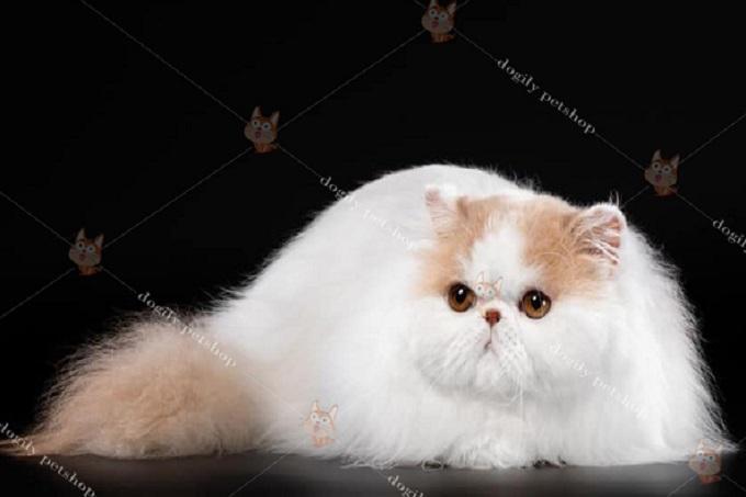 Ngoại hình là một trong những nhân tố quan trọng nhất quyết định giá bán mèo Ba Tư.