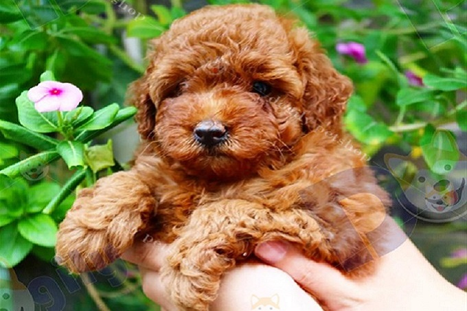 Bán chó Poodle nâu đỏ 2 tháng tuổi.
