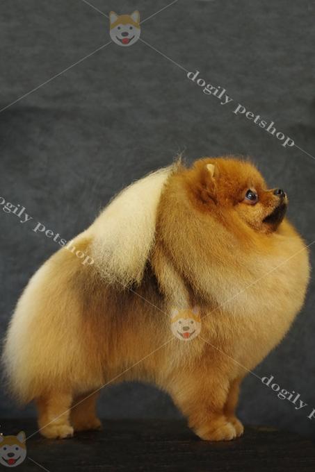 Ngoại hình tiêu chuẩn của một chú chó Pomeranian Standard thuần chủng.