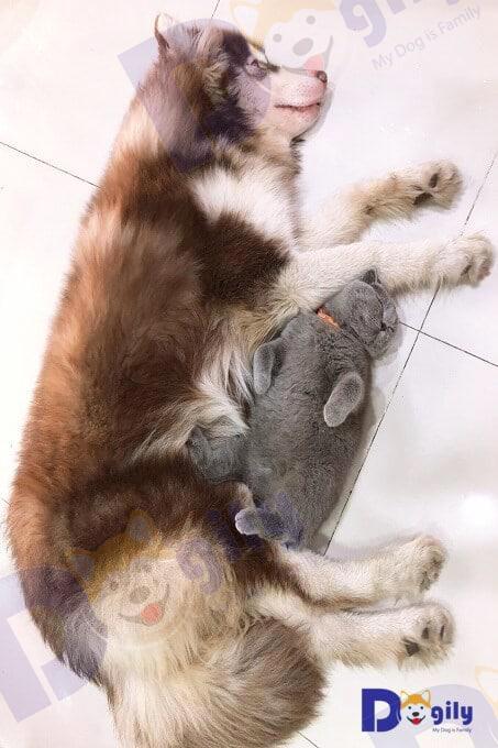 Chó Alaska rất thân thiện với thú cưng khác trong nhà, kể cả mèo.