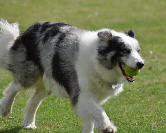 Nên cho cún tập luyện thường xuyên để giải phóng năng lượng