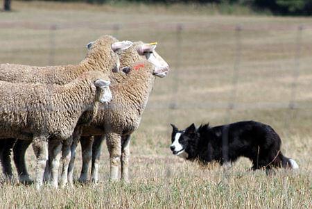 """Ánh mắt của chó collie có một sức mạnh """"vi diệu"""" để khuất phục đàn gia súc tuân thủ không đi lạc khỏi hàng."""
