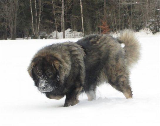 Một chú chó Caucasus dũng mãnh di chuyển trên tuyết trắng. Với sức khỏe tuyệt vời. Chó caucasian có thể thích nghi với hầu hết mọi điều kiện thời tiết khắc nghiệt nhất.
