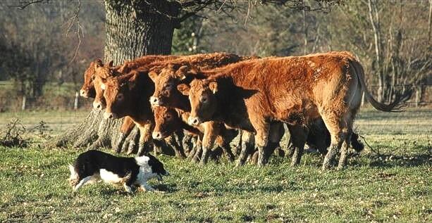 Không chỉ chăn cừu. Chó collie còn sử dụng để chăn những gia súc lớn như bò