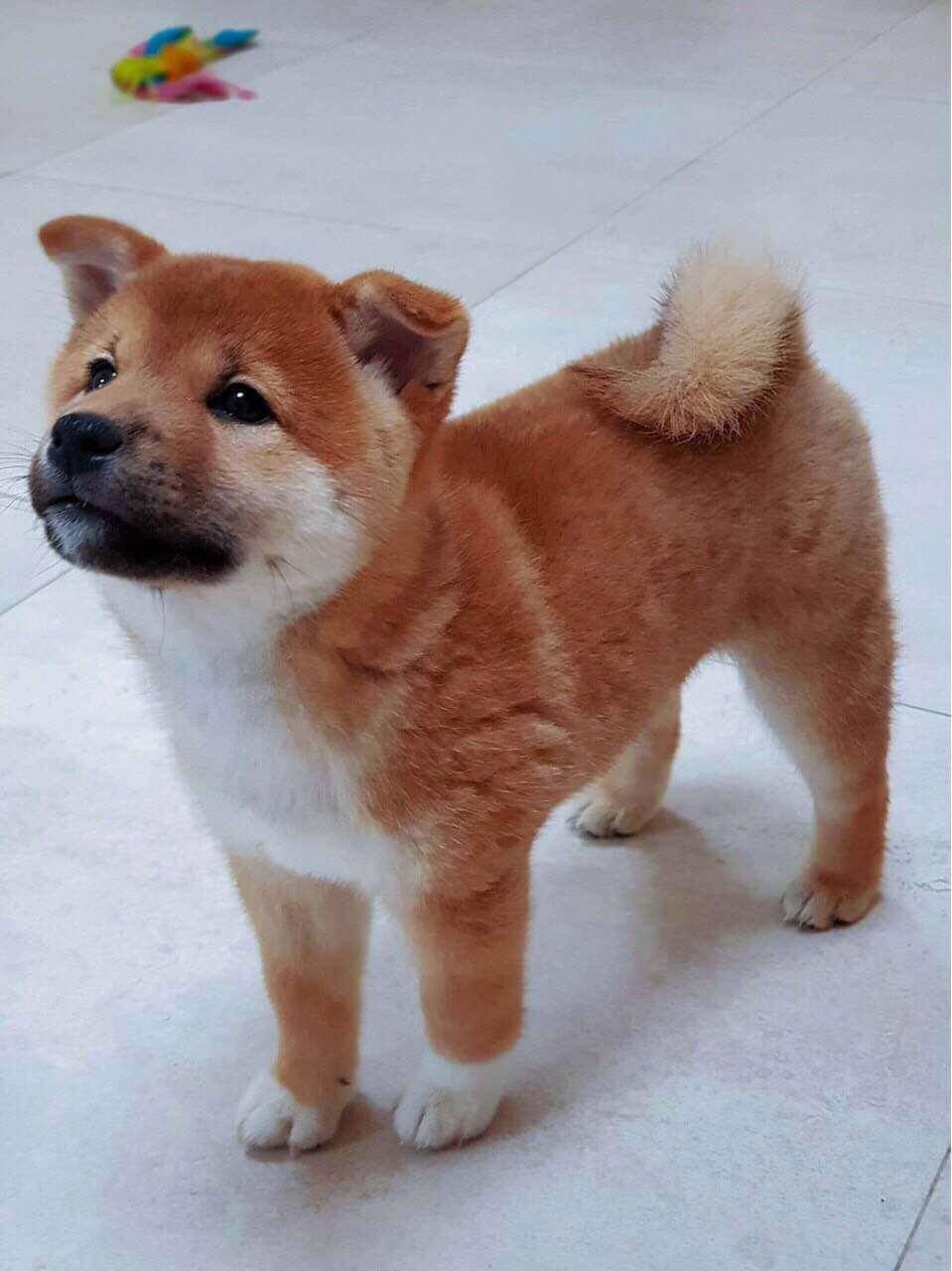 Tiêu chuẩn chó Shiba Inu. Mua chó shiba giá bao nhiêu ? Địa chỉ bán chó shiba uy tín ?