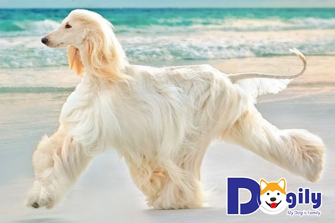 Chó lông xùAfghan Hound
