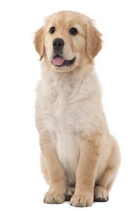 Một chú chó Golden Retriever thuần chủng tiêu chuẩn