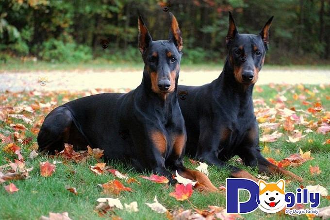 Mua Bán Chó Doberman Pinscher Giá Tốt Nhất – Dogily Petshop Tại TPHCM, Hà Nội