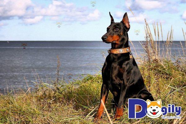 Mua Bán Chó Doberman Pinscher Giá Tốt Tại Dogily Pet shop Tp Hcm, Hà Nội.