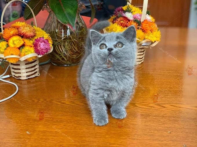 Chú mèo Anh lông ngắn, chân ngắn tai cụp sát tripler Fold màu tam thể tricolor cực hiếm được bán tại cửa hàng Dogily Pet shop quận 1, Sài Gòn.