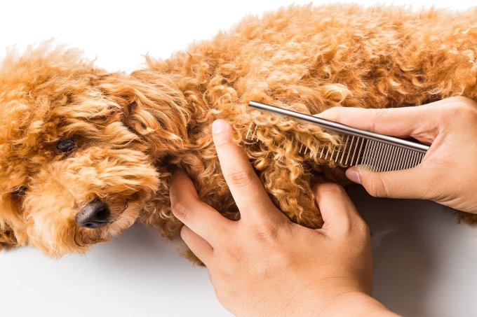 Cách chăm sóc lông cho chó xù