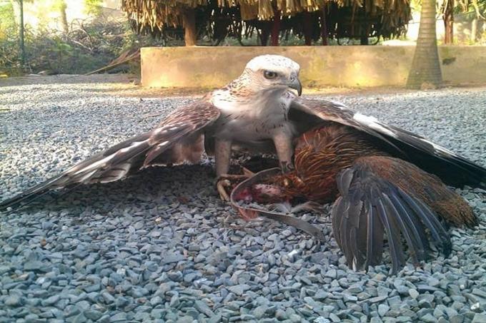 Chim ưng là loài động vật ăn thịt