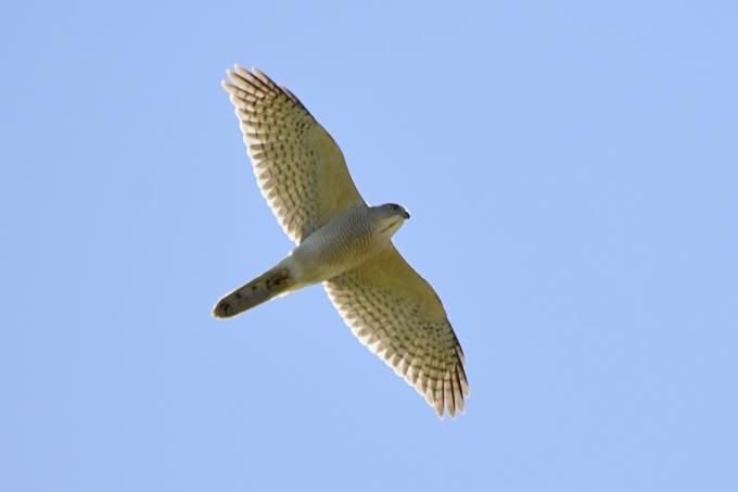 Chim ưng Shikra