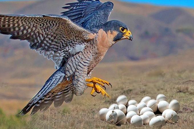 Chim ưng sinh sản