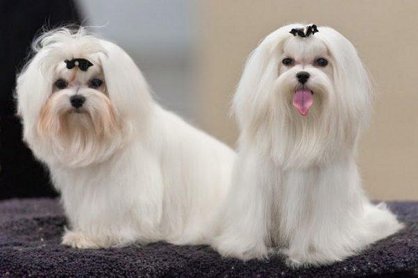Chó Maltese trắng lông xù dogily