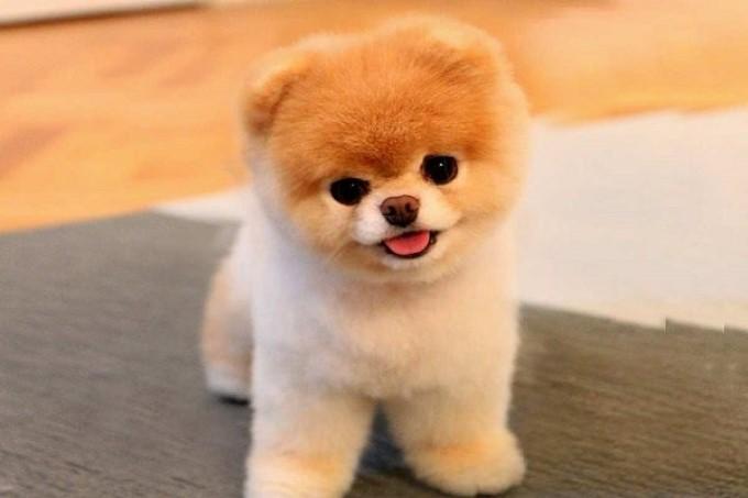 """Chó Boo """"gây bão"""" trên mạng xã hội với kiểu cắt tỉa cực cute"""