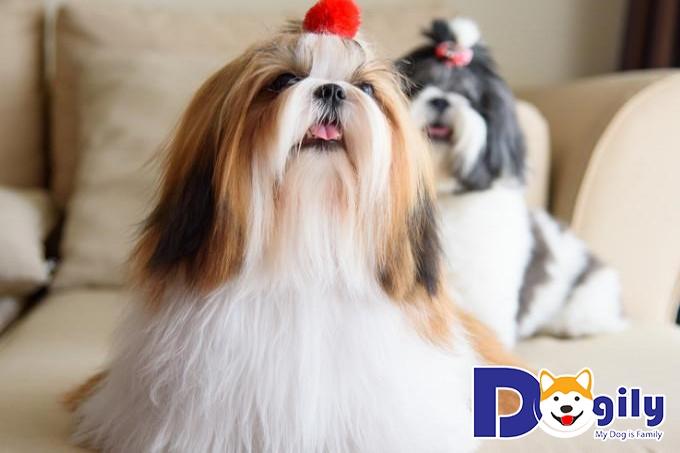 Chó Shih Tzu lông dài