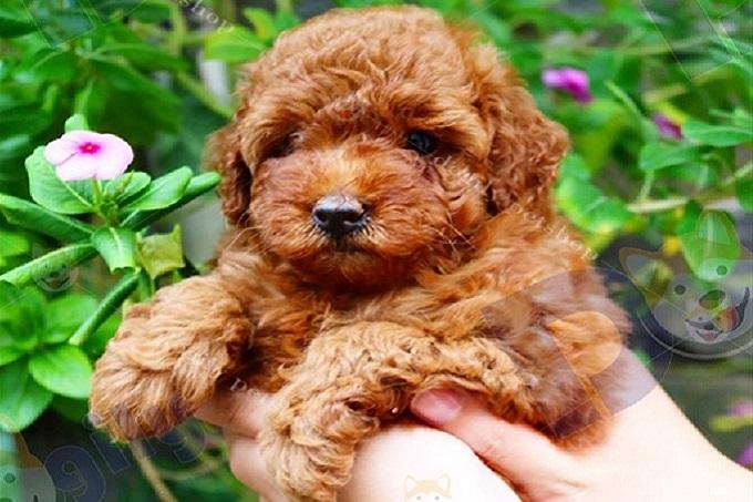 Chó lông xù Poodle