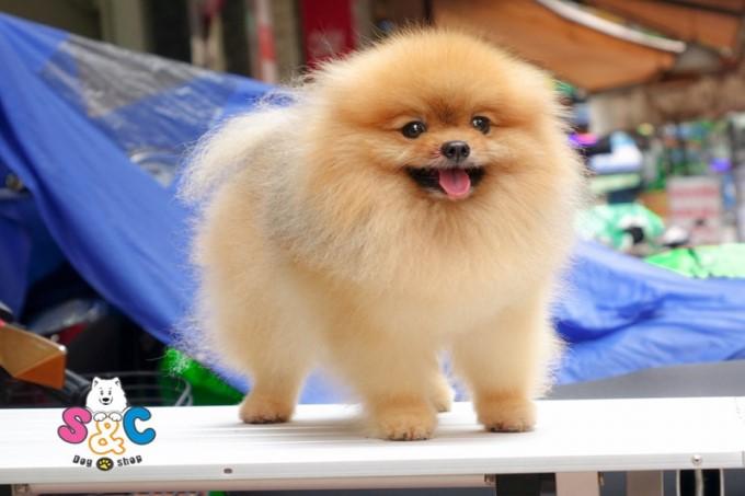 Cửa hàng bán chó cảnh uy tín SC Dog Shop