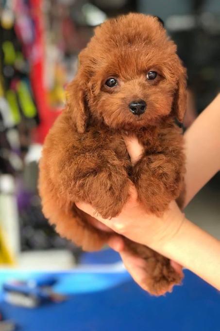 PT Pet Shop - Cửa hàng bán chó cảnh uy tín tại Hà Nội