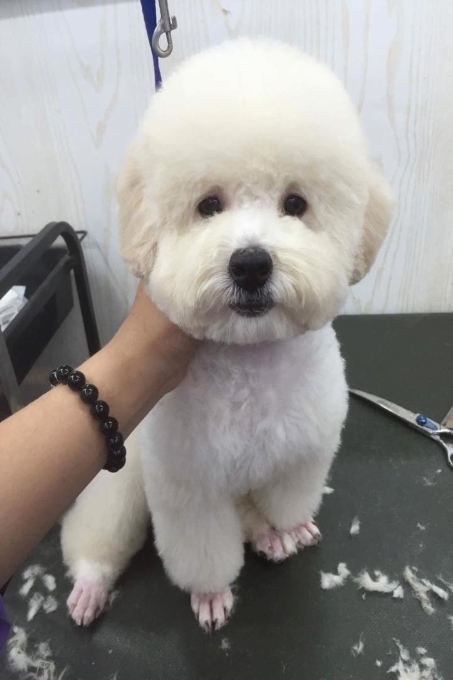 Voodlehouse shop - Cửa hàng bán chó cảnh uy tín tại Hà Nội