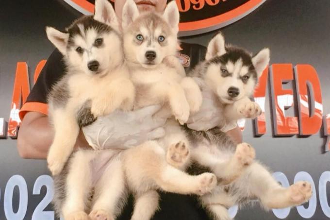 Cửa hàng bán chó cảnh uy tín Saigon Husky Kennel