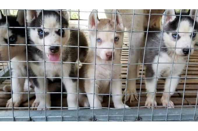 Cửa hàng bán chó cảnh uy tín Trại F8 Kennel