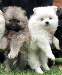 Đàn chó phốc sóc màu đen trắng vàng 2 tháng tuổi