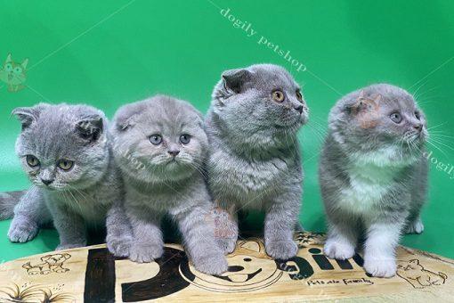 Đàn 4 mèo màu xám xanh 3 tháng tuổi