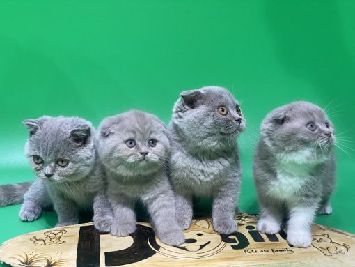 Đàn 4 bé mèo tai cụp xám xanh mặt bánh bao.