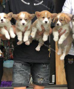 Đàn 6 bé chó corgi pembroke màu vàng trắng và tricolor 2 tháng tuổi