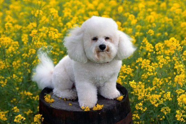 Giống chó nhỏ Bichon Frisé