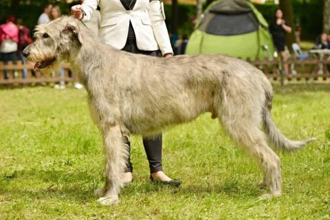Giống chó to Irish Wolfhound (săn sói Ireland)