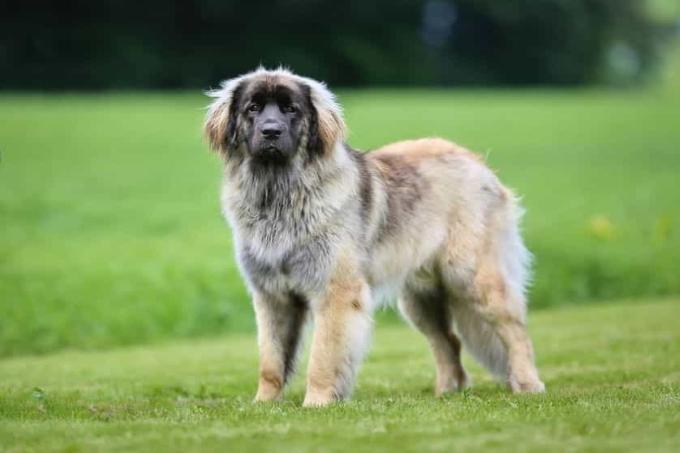 Giống chó to Leonberger