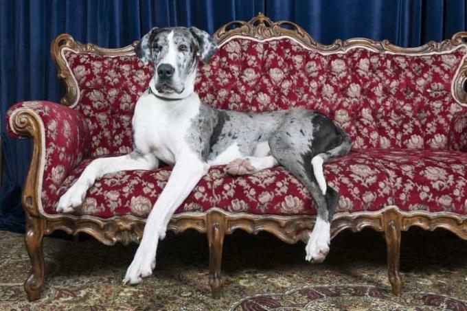 Giống chó to Great Dane