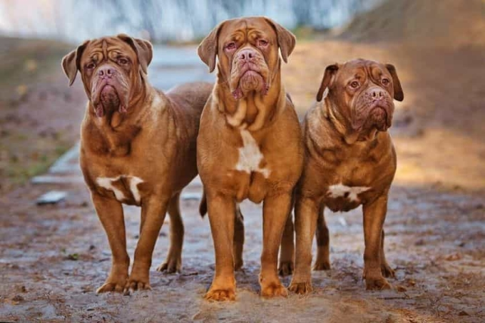 Giống chó to Dogue de Bordeaux (ngao Pháp)
