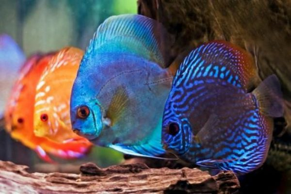 Màu sắc của cá đĩa