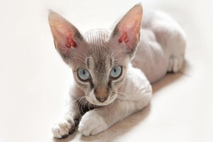 Mèo Cornish Rex