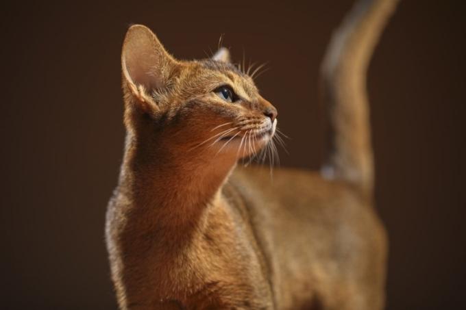 Mèo thông minh Abyssinian lông ngắn