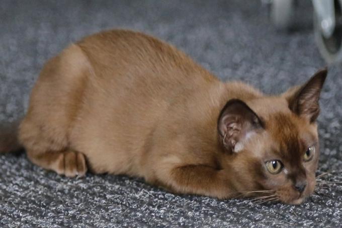 Mèo Miến Điện hay Burmese
