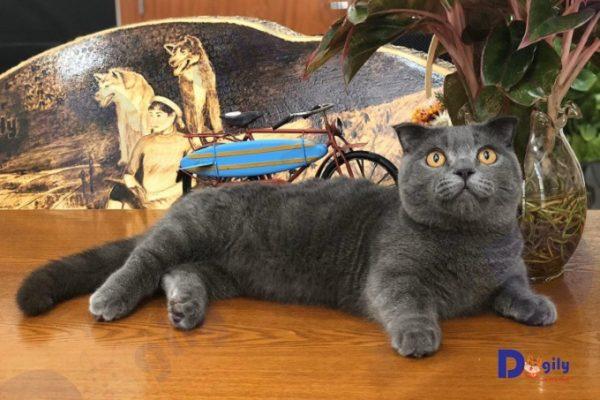 Mèo Munchkin xám xanh nuôi tại trại mèo Dogily Cattery