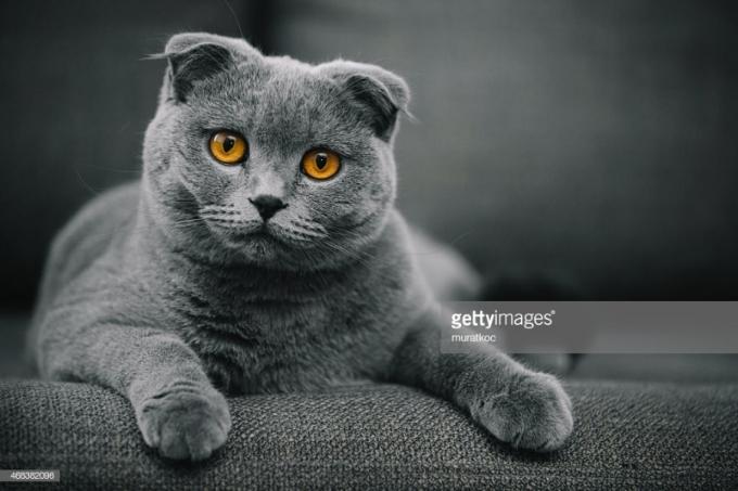 Mèo tai cụp Scotland hay Scottish Fold