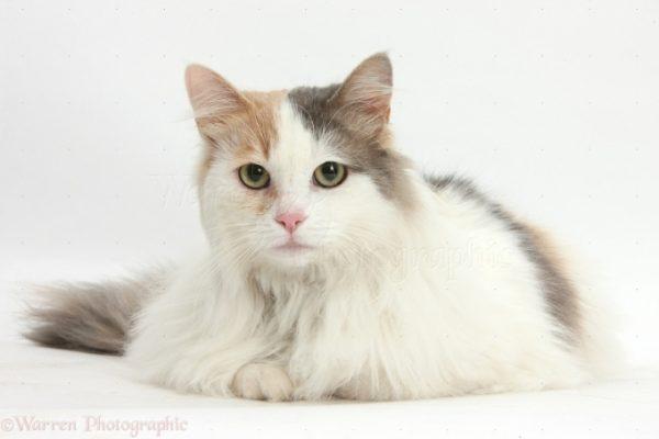 Mèo Van Thổ Nhĩ Kỳ