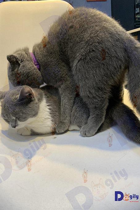 Đôi chân trước ngắn cũn cỡn của mèo Munchkin là do một dạng đột biết gen tự nhiên.