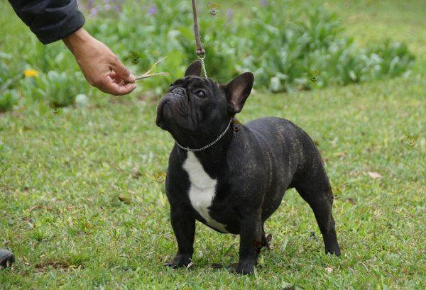 Mua Bán Chó Bull Pháp Con Thuần Chủng Tại Dogily Petshop Hà Nội & TpHCM